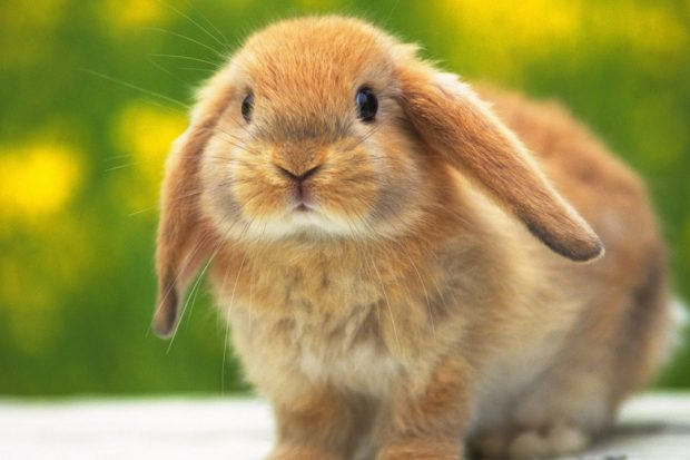 Tavşan dağa küstüğünde önce dağın haberi olur…