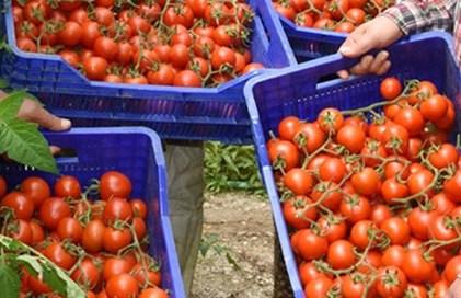 70 kuruşluk domates